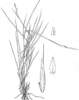 小尖隐子草cleistogenes