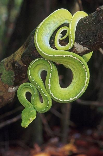 大蛇对大蟒/王蛇对巨蟒